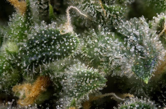 close up of trichomes on a cannabis plant