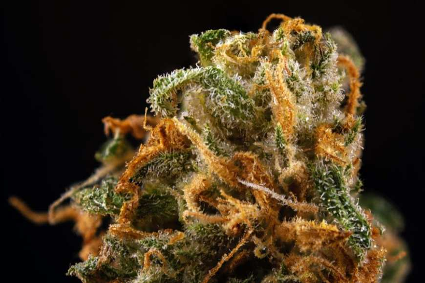 Close up of cannabis bud showing trichomes