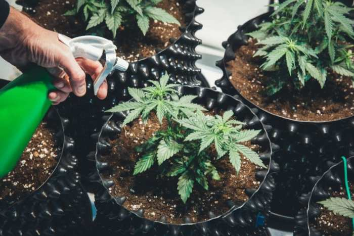 Cannabis in Pots