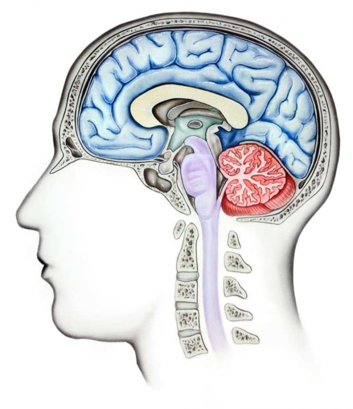 Side view of the interior of the brain cut midway to represent the question of can you overdose on weed