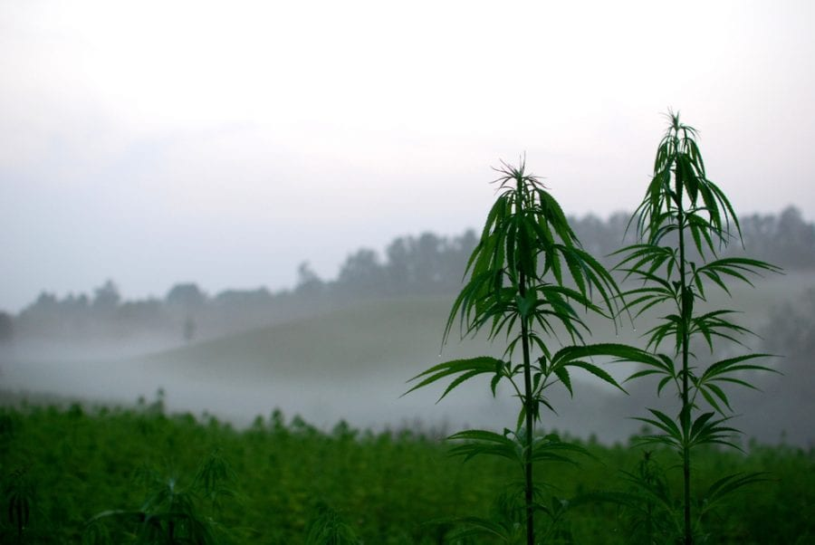 Hemp Field in the fog