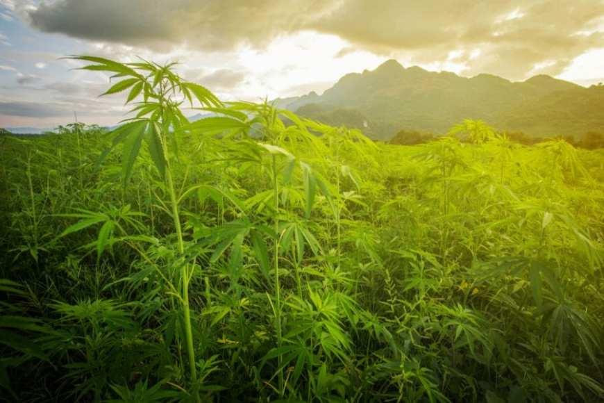 cannabis, field, CBD, THC, plant, health, medicine, pain relief, cannabinoids, treatment