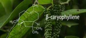 beta-caryophyllene, terpenes, cannabis, cannabinoids, entourage effect, THC, CBD, medical cannabis, medicinal, flavour profiles, aromas