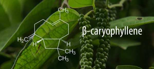 beta-caryophyllene, terpenes, cannabis, cannabinoids, entourage effect, THC, CBD, medical cannabis, medicinal, flavour profiles, aromas