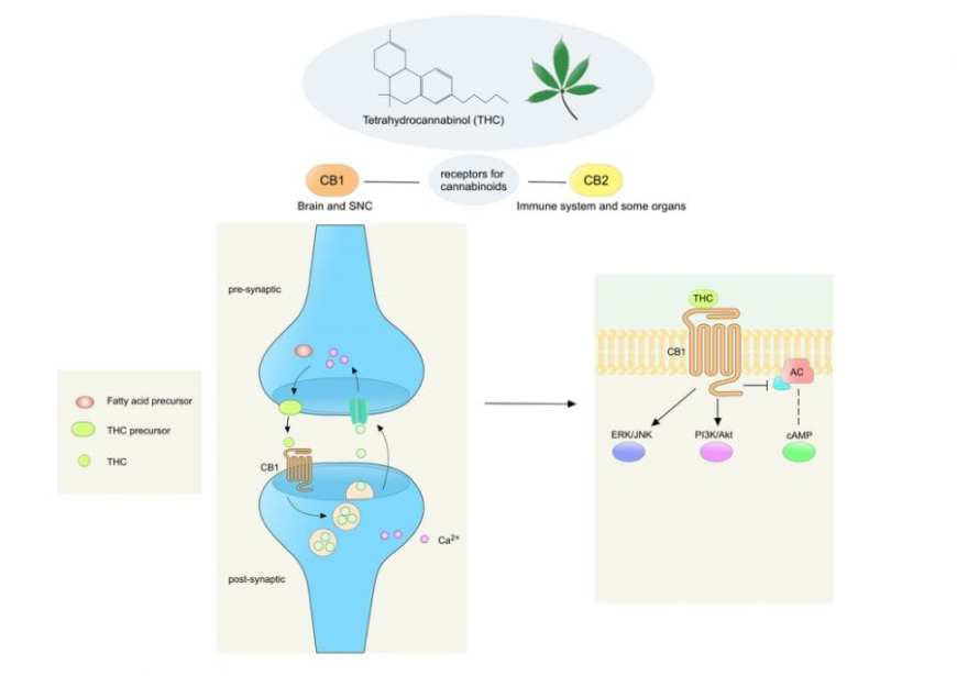 cannabis, cannabinoids, CB1 receptors, THC, neurotransmitters, neurons, medical cannabis, research, legalization, Canada, USA