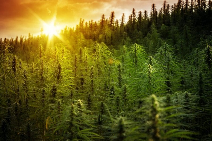 cannabis, medical cannabis, recreational cannabis, legalization, prohibition, cannabis oil, cannabis plants, cannabis products, stigma, dispensaries, retailers