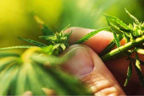 cannabis, Katexco, investors, cannabis research, Stanford University, inflammation, gastrointestinal disease, immunosuppressant, anti-inflammatory, cannabis plant, Steinman. Rothbard
