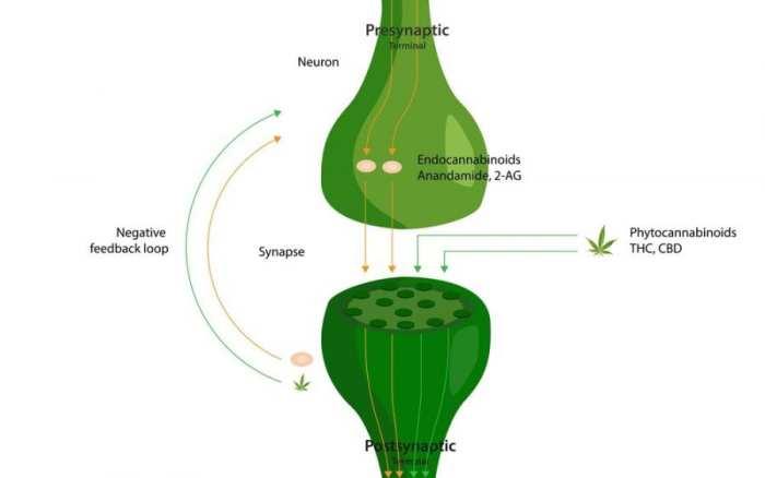 CBD, THC, balance, ratio, cannabis, cannabis research, healing, medical cannabis, recreational cannabis, cannabinoids, CB receptors