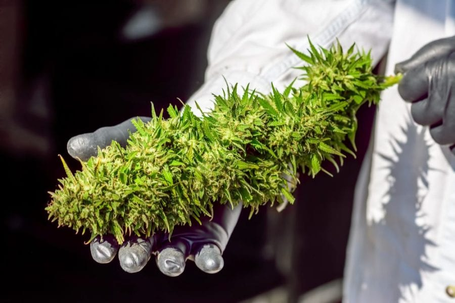 anticancer research lush branch of cannabis being held up by researcher