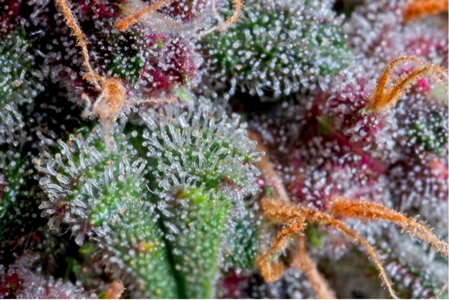 trichomes, THC, cannabinoids, flavonoids, terpenes, health benefits, cannabis strains, medical cannabis, medical benefits