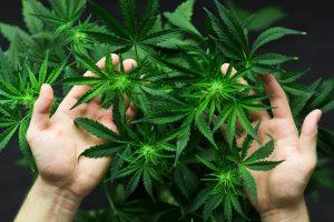 home grown cannabis