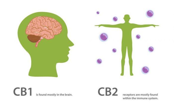 chart showing cannabinoid receptors