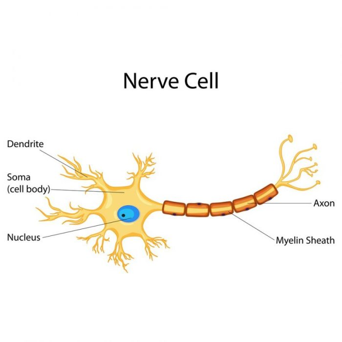 CB1 receptor, dendrite, axon, nerve cell, neurodegenerative disease, impulse, myelin sheath