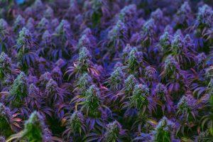 cannabis plant clones
