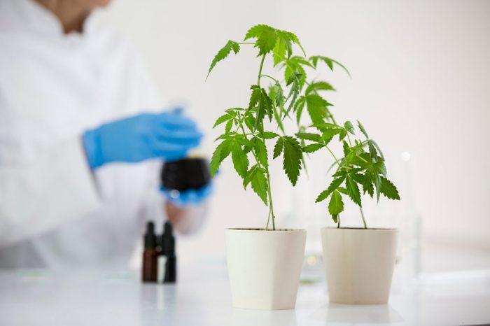 cannabis plants ready for lab testing