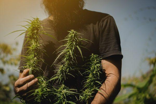 no-till cannabis in farmer's hands