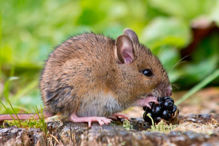 mouse eating blackberries