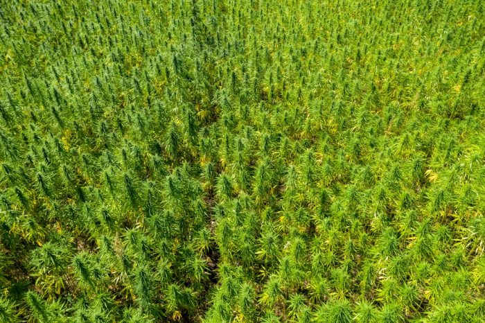 hemp for cbd farming