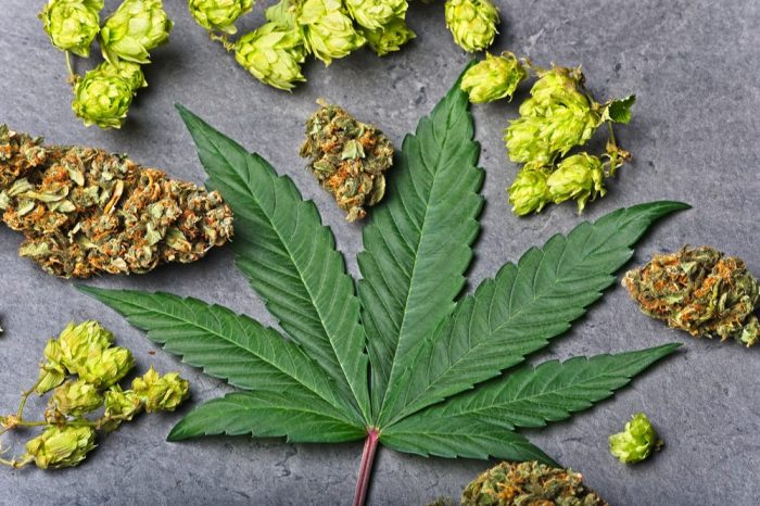 cannabis leaf with hops, suggestign terpene content
