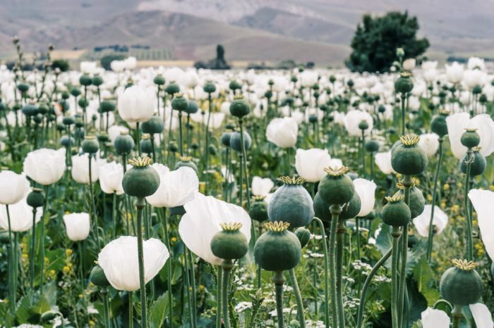 opioid receptors would work in tandem with these opium poppies