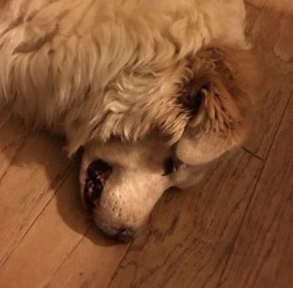 happy buddy the dog who was treated with cbd oil