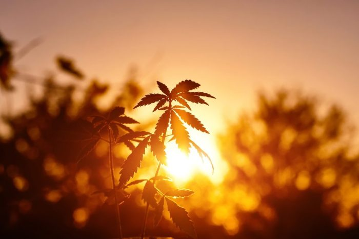 cannabis leaf on farm in sunset