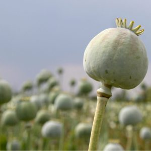 Opioid receptors will respond to painkillers in this opium poppy