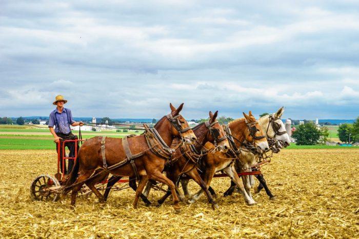 amish farmers tilling soil