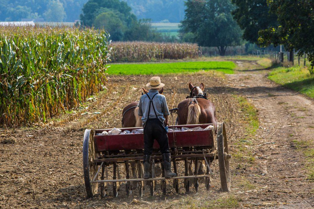 amish farmers growing corn