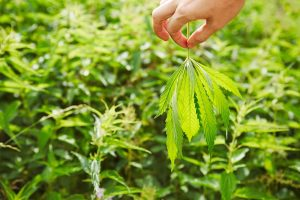 cannabis ruderalis leaf held in person's hand