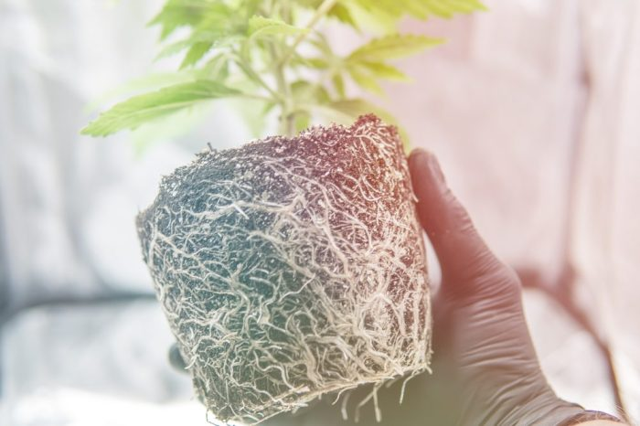 cannabis root medicine represented by hand holding cannabis plant unpotted with roots showing
