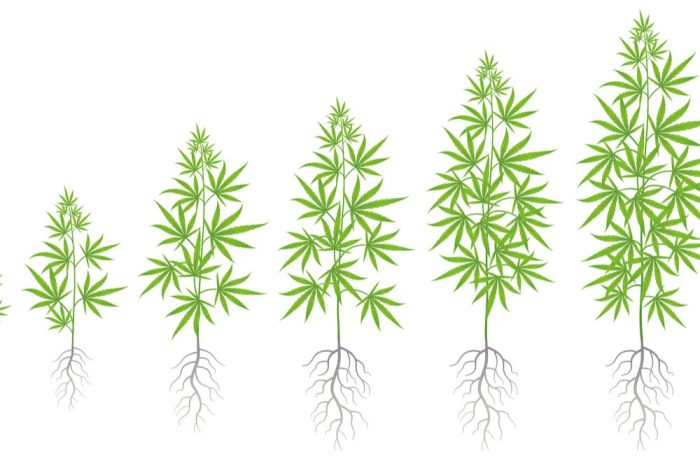 cannabis root medicine represented by chart of root and plant growth