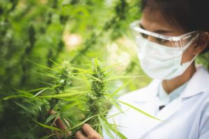 How long does CBD stay in your system? This scientist looking st cannabis might want to know