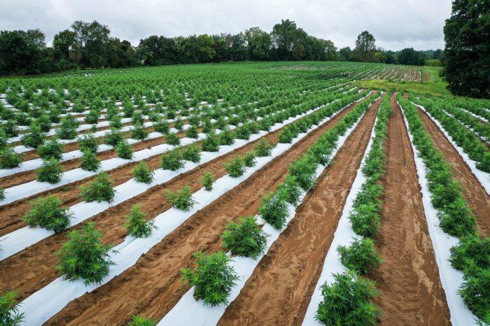 hemp battereis will be powered by this large field of hemp