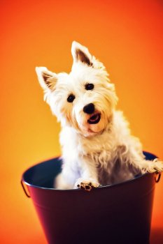 KHS West Highland Terrier