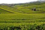 ประเภทของชาเขียวญี่ปุ่น