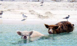 Ostrov, jenž ovládají prasata, která umí plavat