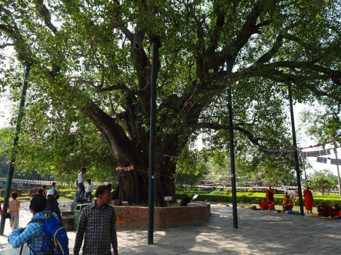ルンビニの菩提樹は周りで僧侶が瞑想するところ