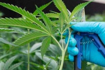 Anvisa põe em consulta cultivo de maconha medicinal