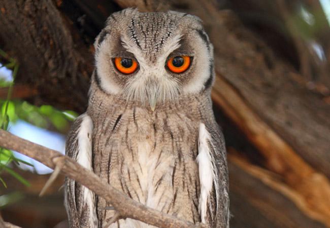 African Scops Owl Otus senegalensis