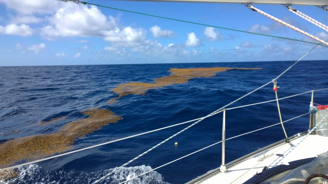 Levälauttoja Atlantilla. Nämä olivat suurimpia näkemiämme lauttoja.