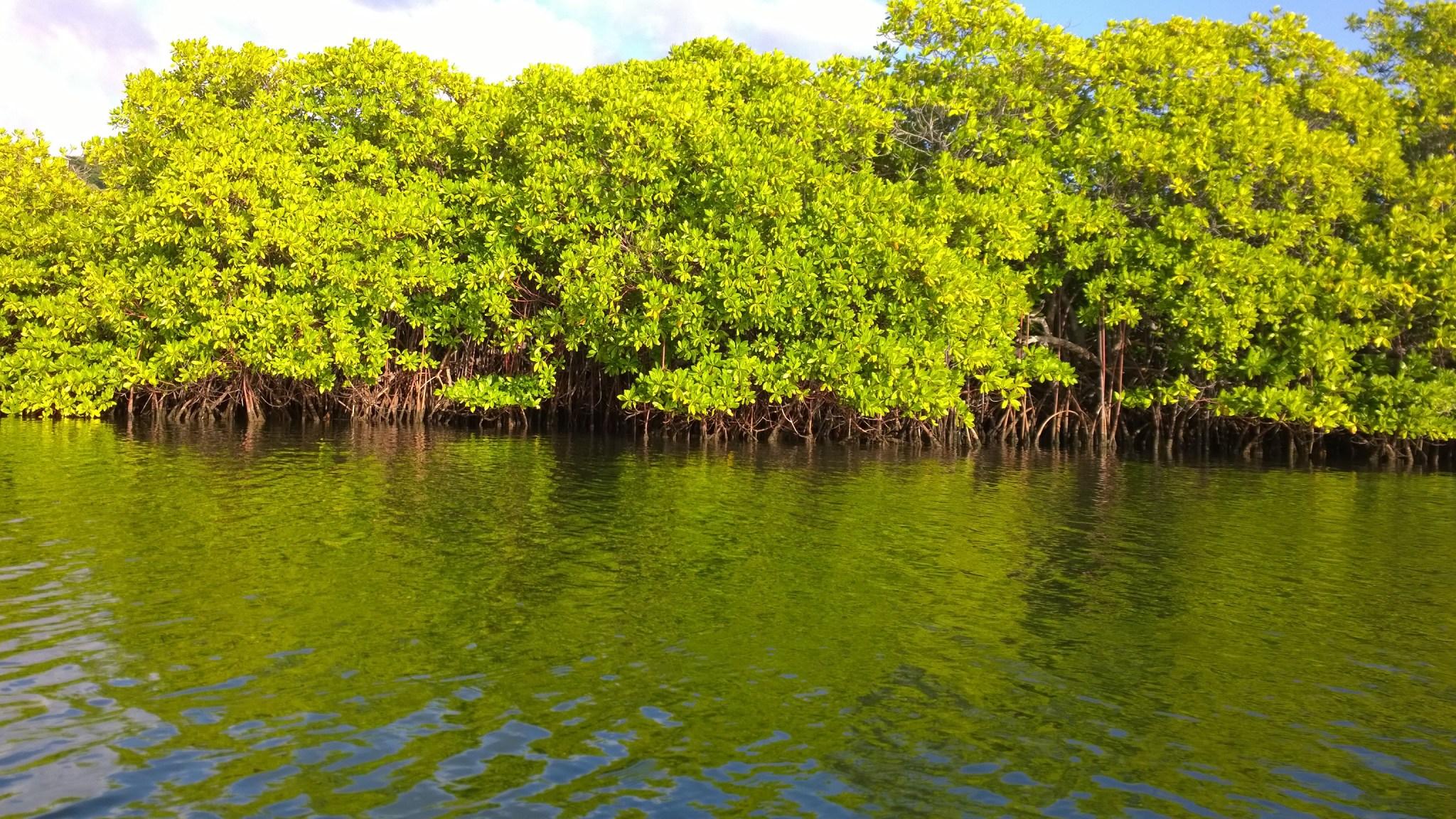 Let me present you, mangrove-räme! No niin, nyt olet nähnyt kaiken nähtävän, eikä tarvitse maksaa 100 Karibian dollaria rämeen näkemisestä Tyrrel Bayssa.