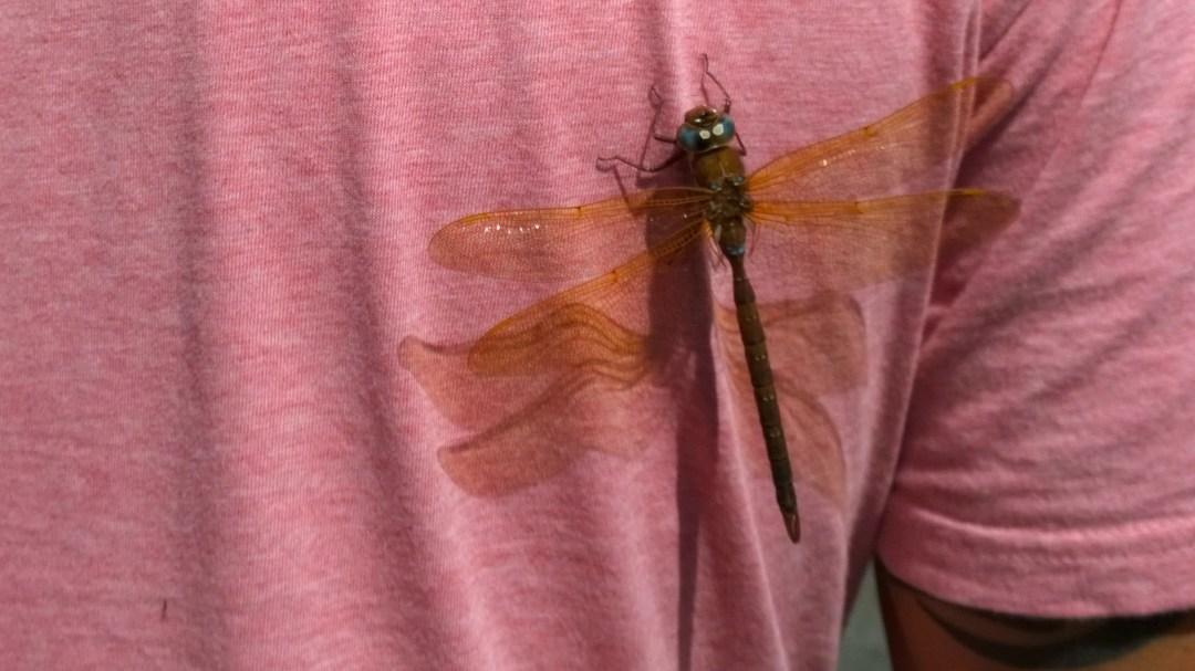 Suurin hetkeen näkemäni sudenkorento rakastui kuvaajan, Mikon, vaaleanpunaiseen paitaan. Saimme käydä kuvaamassa todella läheltä ja se ei häiriintynyt ollenkaan. Kun se sitten hätisteltiin liikkeelle, pyrähti se pienen lennon ja laskeutui nopeasti uudestaan paitaan.