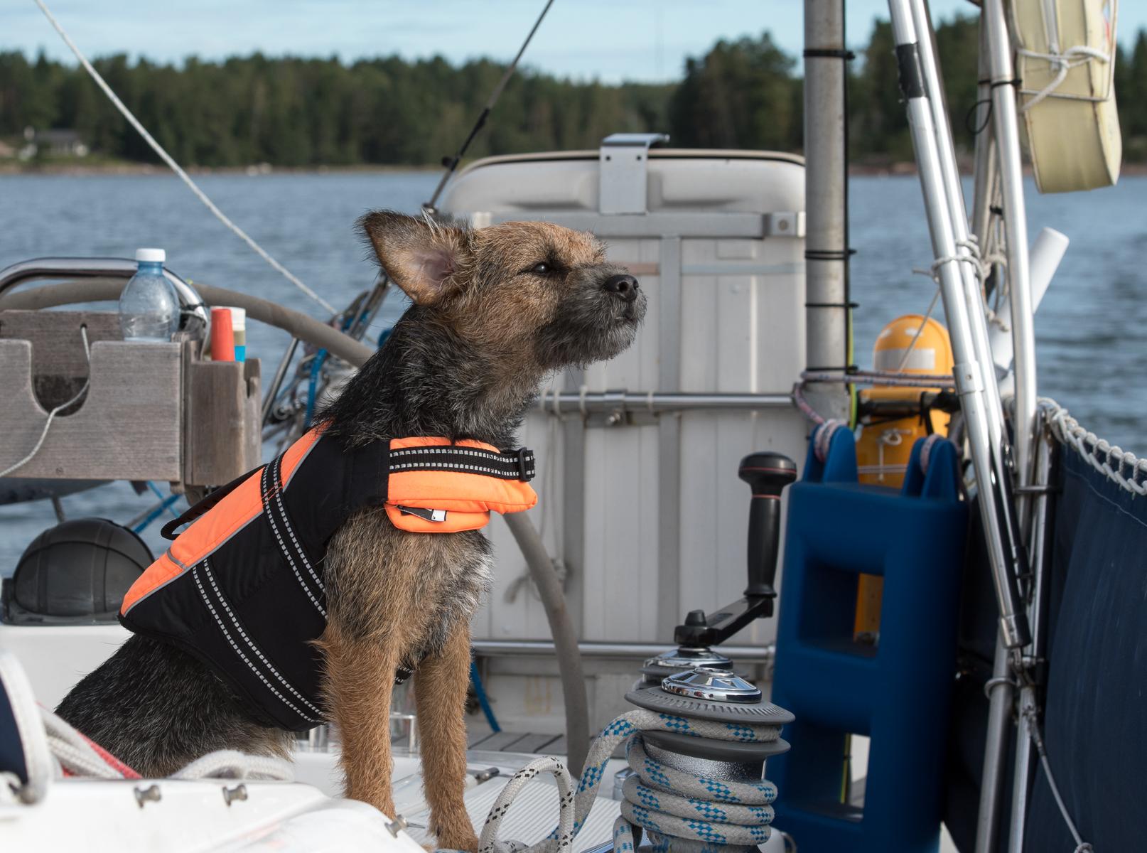 Myös Sompa katseli tarkasti veneestä ulos. Se oli ensimmäistä kertaa purjehtimassa ja siitä on tulossa oikein hyvä laivakoira. Heti jonkun moottoriveneen mennessä ohi se syöksyi salamana katsomaan sitä sitloodan laidalle.
