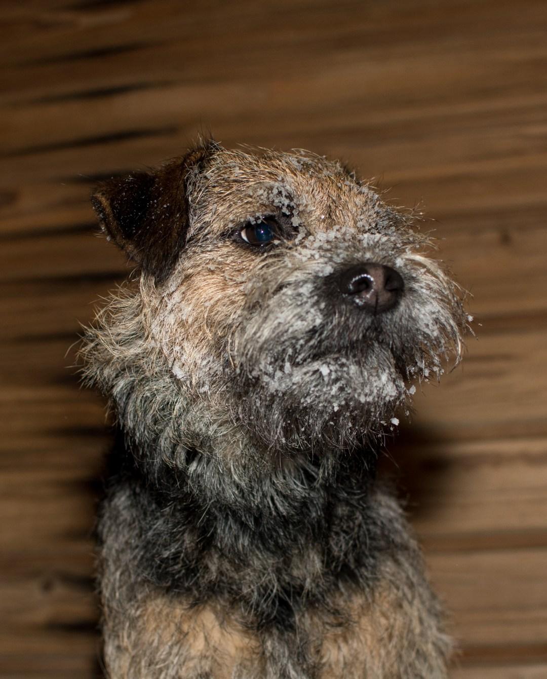 Koirat olivat mukana kuvausreissulla Sompalle kertyi lunta partakarvoihin. Pipon parta oli vielä enemmän lumessa, mutta Pipon kuville tapahtui jotain ihmeellistä. Ne katosivat kamerasta. Oikeasti!