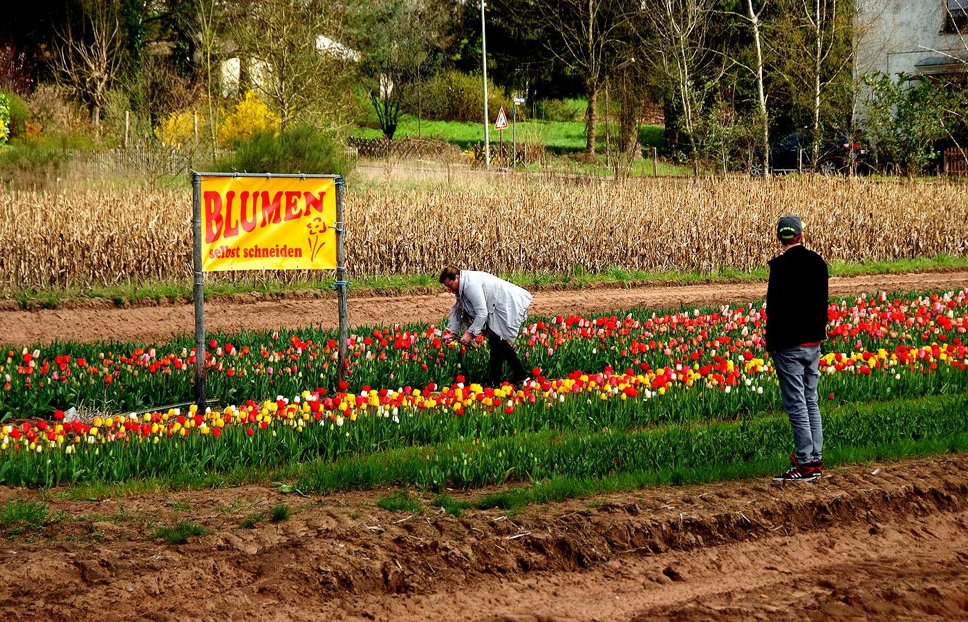 Blumen selber schneiden   Das Saarland im Bild