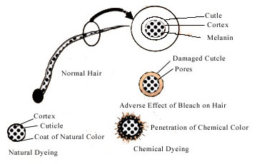 Mechanism of Hair Dying.