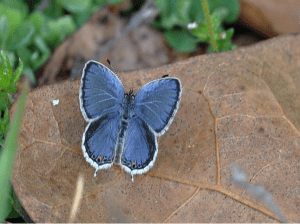 Blue Copper w/opened wing