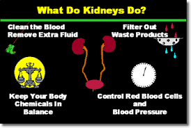 What are functions of kidneys Image