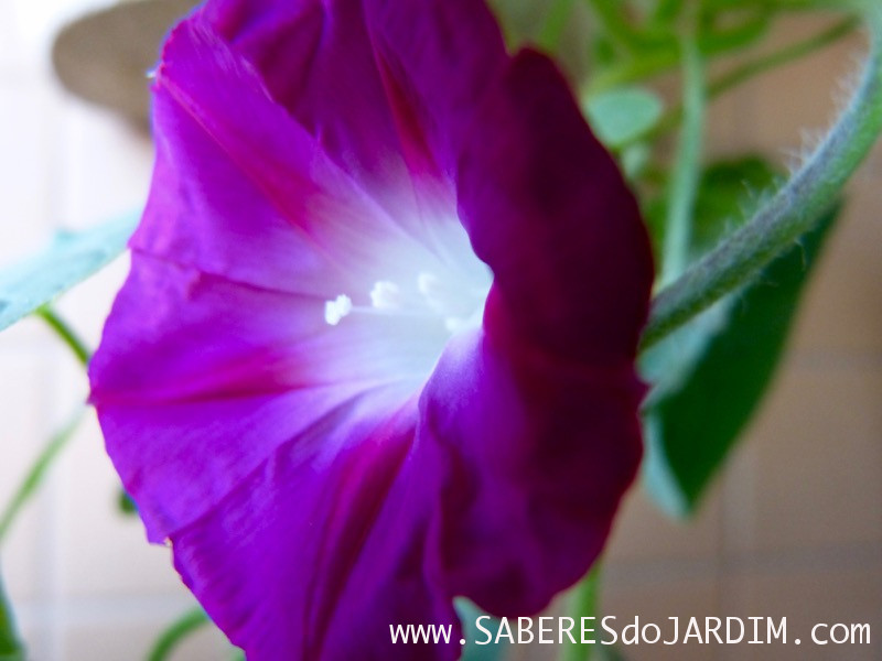 ipomoea purpurea - Ipoméia